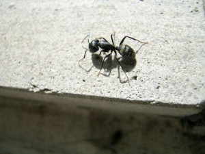 A hardworking ant, possibly working hard