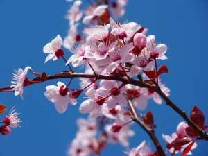 Japanese is particularly useful if you seek to enjoy the cherry blossoms.
